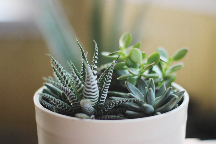 Succulents | Elephantine