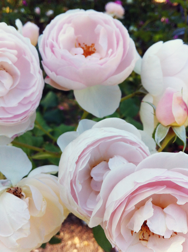 Elephantine: Woodland Park Rose Garden