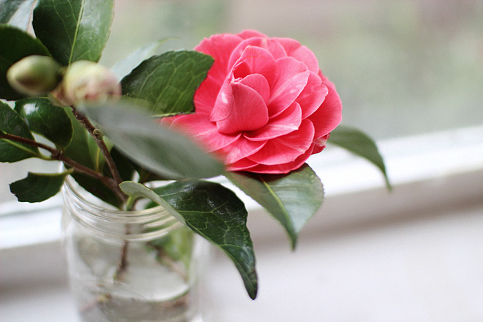 Elephantine: camellias