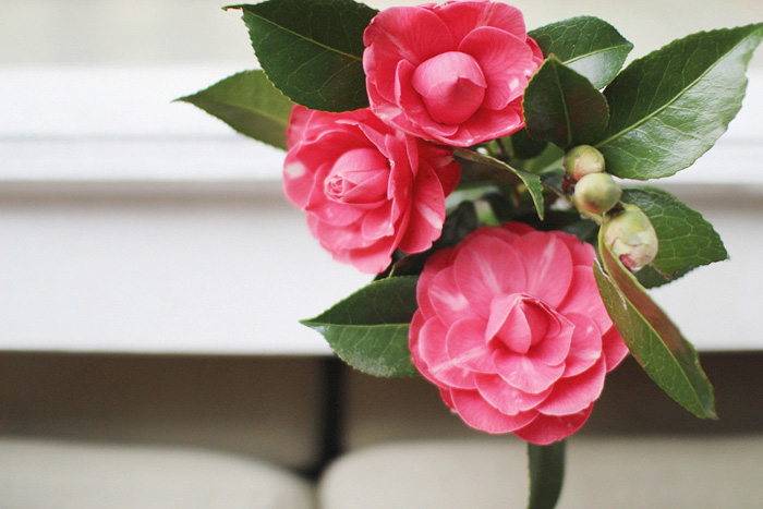 Elephantine: camellias