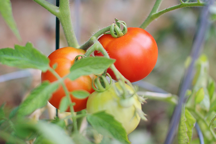 elephantine: the first tomato