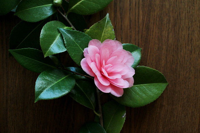 camellias | elephantine
