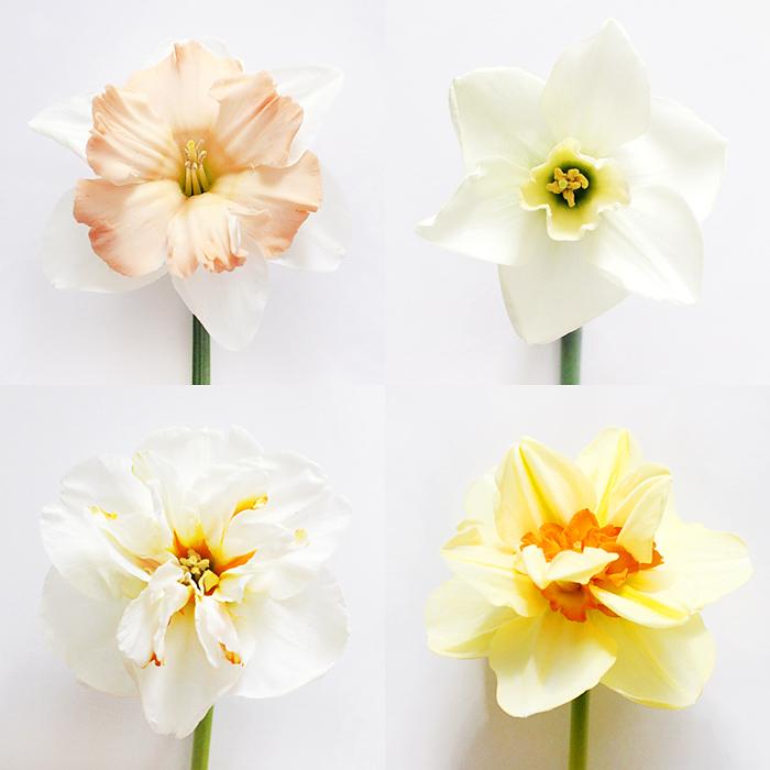 daffodils | elephantineblog.com