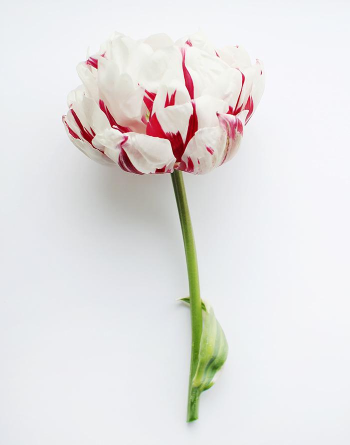 carnaval de nice double tulip | elephantineblog.com