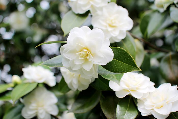 Camellias   elephantineblog.com